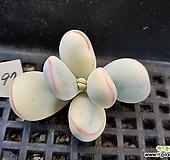 대형종 방울복랑금97 뿌리무|Cotyledon orbiculata cv variegated