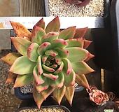 옛종자 상부련 대 사이즈|Echeveria agavoides Prolifera