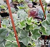 엘레칸테그린잎(아이비제라늄) pelargonium inquinans