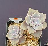 퍼플딜라이트 517_WG43|Graptopetalum Purple Delight