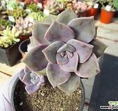 퍼플딜라이트    01795|Graptopetalum Purple Delight