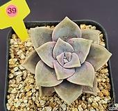 퍼플딜라이트 520_WP39|Graptopetalum Purple Delight