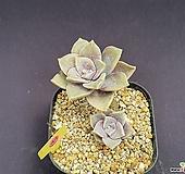 퍼플딜라이트 520_WP44|Graptopetalum Purple Delight