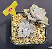 퍼플딜라이트 520_WP77|Graptopetalum Purple Delight