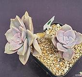 퍼플딜라이트 521_WG20|Graptopetalum Purple Delight