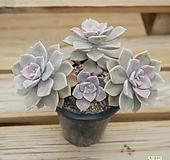 퍼플딜라이트자연 0522-39|Graptopetalum Purple Delight