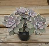 퍼플딜라이트자연 0522-40|Graptopetalum Purple Delight