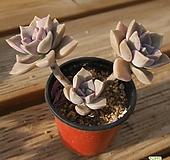 퍼플딜라이트자연 0524-45|Graptopetalum Purple Delight