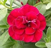 신종겹꽃사피니아-테라로즈대품 