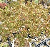 선동창 대품 Aeonium spathulatum