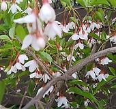 분홍수양때죽,특대품,단품 