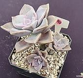 퍼플딜라이트 525 _ WP 50|Graptopetalum Purple Delight