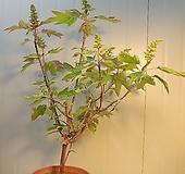 (단품)떡갈잎수국 특대품 