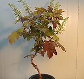 (단품)떡갈잎수국 대품 
