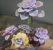 퍼플딜라이트금&생얼군생 527-|Graptopetalum Purple Delight