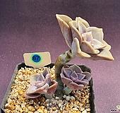 퍼플딜라이트 528 _ WB 67|Graptopetalum Purple Delight