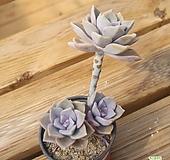 퍼플딜라이트자연 0528-03|Graptopetalum Purple Delight
