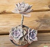 퍼플딜라이트자연 0528-04|Graptopetalum Purple Delight