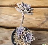 퍼플딜라이트자연 0528-05|Graptopetalum Purple Delight