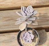 퍼플딜라이트 0528-06|Graptopetalum Purple Delight