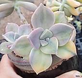 퍼플딜라이트금(컷팅군생)|Graptopetalum Purple Delight