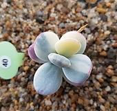 방울복랑금 Cotyledon orbiculata cv variegated