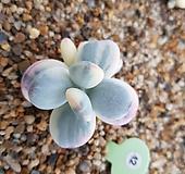 방울복랑금 자구3 Cotyledon orbiculata cv variegated