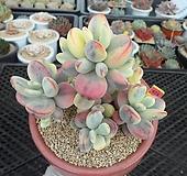 방울복랑금(수박금)자연군생7-674 Cotyledon orbiculata cv variegated