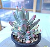 원종방울복랑금,9431 Cotyledon orbiculata cv variegated