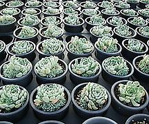 멕시코미니마 자연군생
