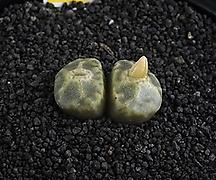 XP2090-Conophytum angelicae ssp. tetragonum SB1376 엔젤리케 테트라고눔 2두