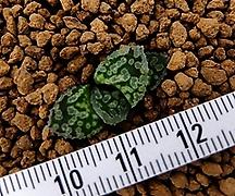 레빈 소묘(Haworthia Marylin hyb. Rebin, offset)