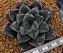베누스타 대묘 (Haworthia venusta, ex.Japan)