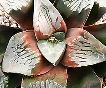 코렉타 이럽션 소묘(Haworthia correcta Eruption, offset)