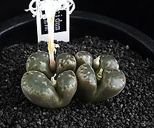 XP2107-Conophytum pellucidum [Carousberg産] 펠루시덤4두