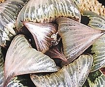 바디아 핑키 (Haworthia badia cv. Pinky, offset)