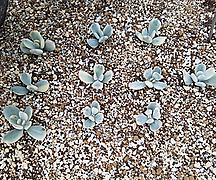 방울복랑금 10개 (뿌리무)