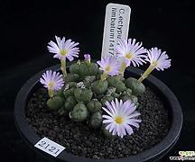 XP2121-Conophytum ectipum var. limbatum 1417.51 림바툼군생