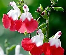 핫립세이지♡여인의 붉은 입술을 닮은 매력적인 꽃♡허브식물
