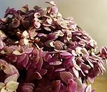 레이디크로톤(한목대) 잎이 아주독특해요 (새로입고)