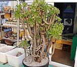 묵은 청법사 특대품(화분포함)|Aeonium arboreum