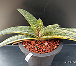 Gasteria batesiana variegata.바테시아나금-23(W:29.0cm.실생))|