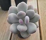 홍미인(목대) 179|Pachyphytum ovefeum cv. momobijin