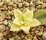 용월복륜금 Graptopetalum paraguayense