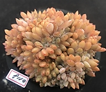 성영철화|Echeveria elegans Potosina