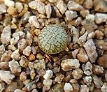 위트버젠스태선|Conophytum Wittebergense