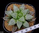 youngii XL size, (씨방有) (Conophytum youngii, 1H)