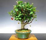 예쁜 수형 왕보리수 분재♥작은 나무에 열매가 열려요~|