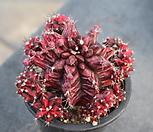 Ariocarpus retusus cristata(목단철화)