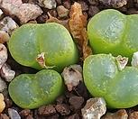 C ophthalmophyllum(옵탈모필름 )